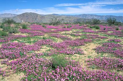 Borrego State Park, Desert Verbena