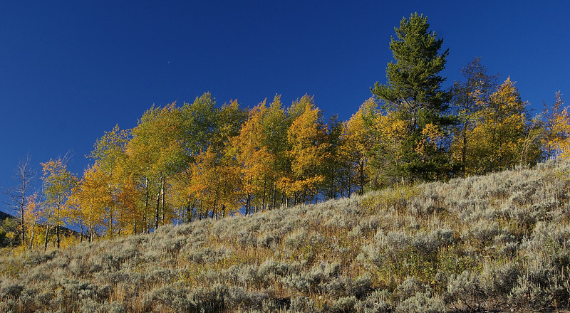 Aspen in Grand Tetons National Park, WY