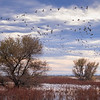 Snow Geese at Sacramento National Wildlife Refuge 2758