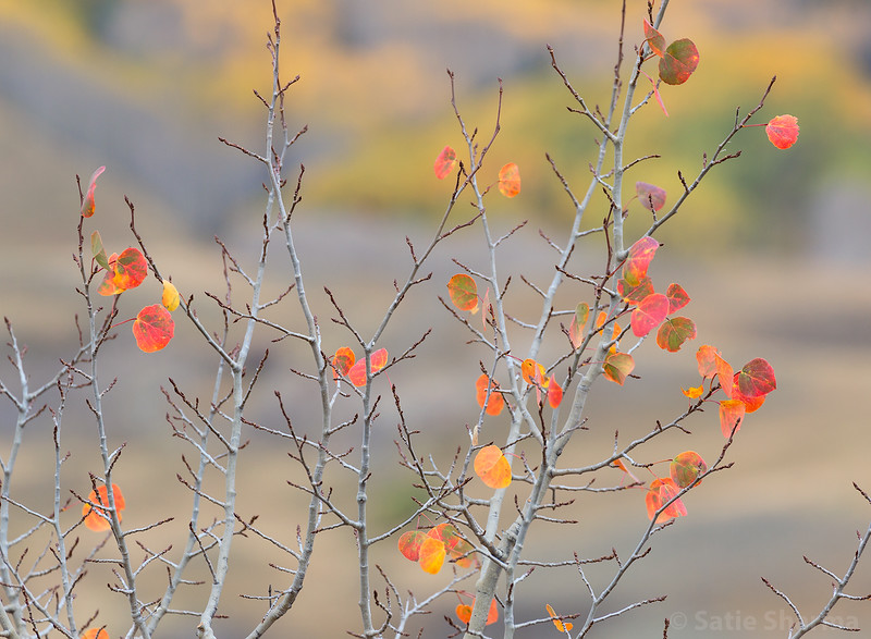 Aspens around Crested Butte