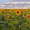 Sunflower fields east of Denver, Colorado in summer.