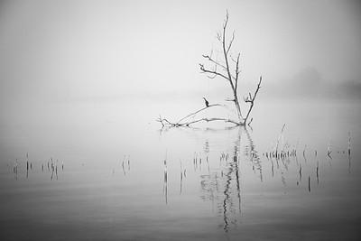 Cormorant in the Morning Mist