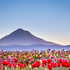 Tulip Fields Under Mount Hood, Early Dawn