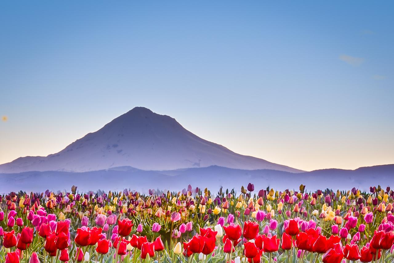 Tulip Fields Under Mount Hood, Early Dawn