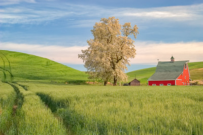 Old barn in the middle of wheat fields, Palouse, WA.