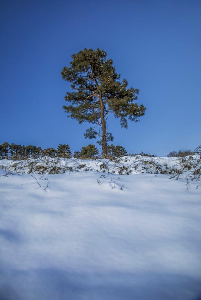 Lone Snowy Pine