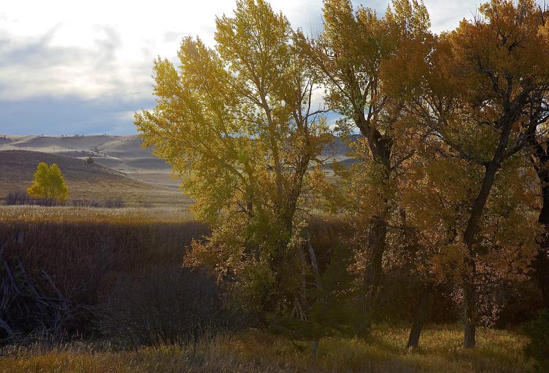 Painterly Trees #1.  Near Livingston, Montana