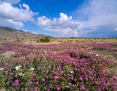 Borrego State Park Wildflowers