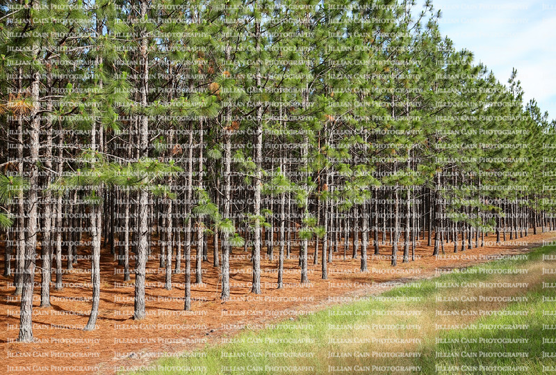 A grove of pine trees growing in a straight line near a main road in Georgia.