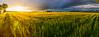 Logan Photographers, Cache Valley Wheat Field
