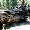 Giant Sequoia trees in Mariposa Grove, Yosemite National Park, USA