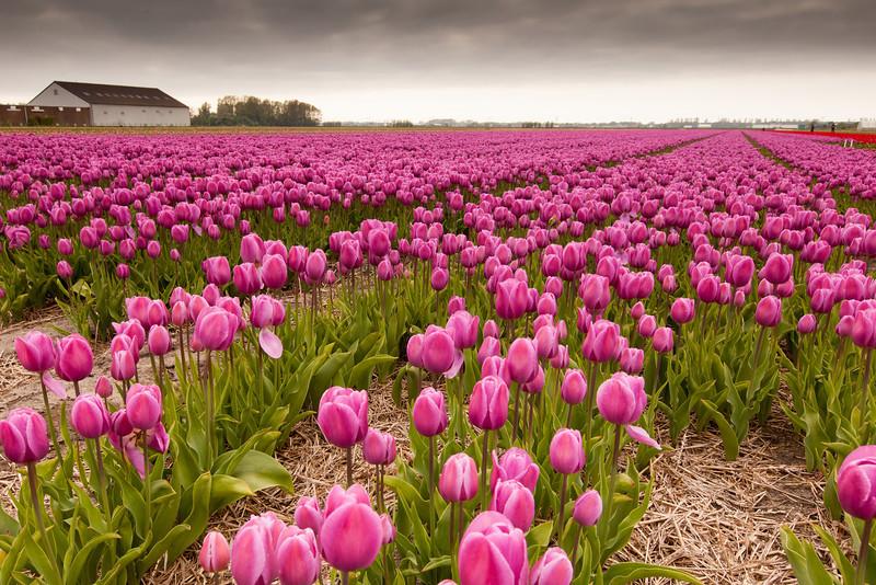 Flower field Lisse