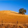 Late Summer Lone Oak