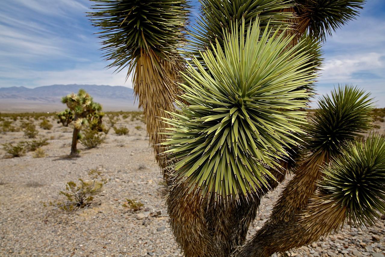Cactus.  Near Las Vegas, Nevada.
