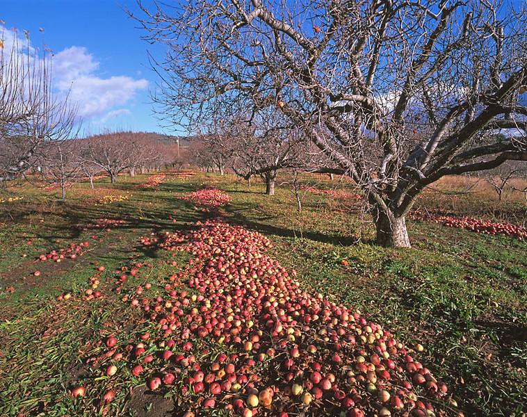 Windfall Apples, Julian, Ca