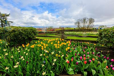 Skagit Valley Tulip Festival, Mount Vernon, Wa.