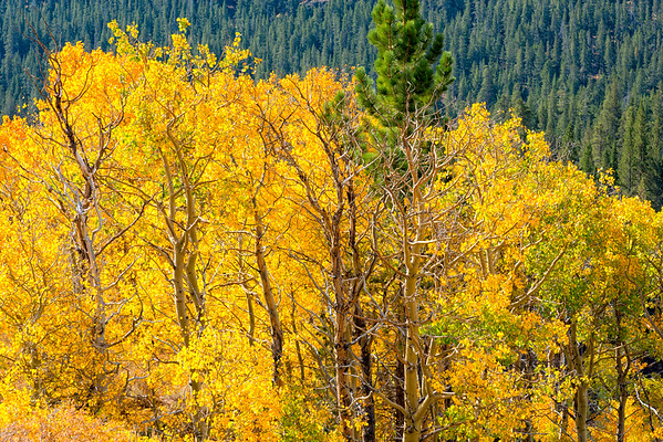 Fall Colors - Sonora Pass
