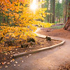 The Autumnal Path Through The Sequoias