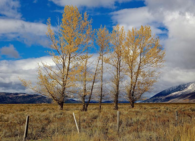 Birch Trees.  Idaho, Montana Border
