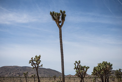 The Tallest Joshua Tree