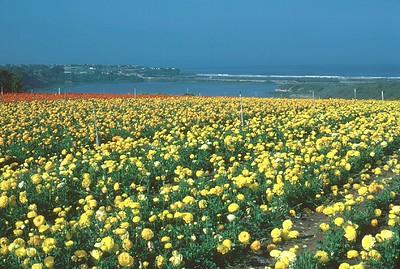 Carlsbad Flowers 1970's #4