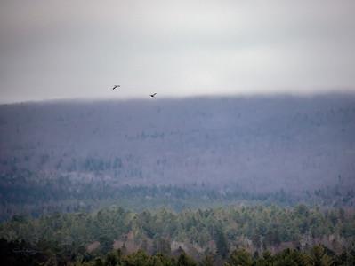 Great Blue Herons in Flight