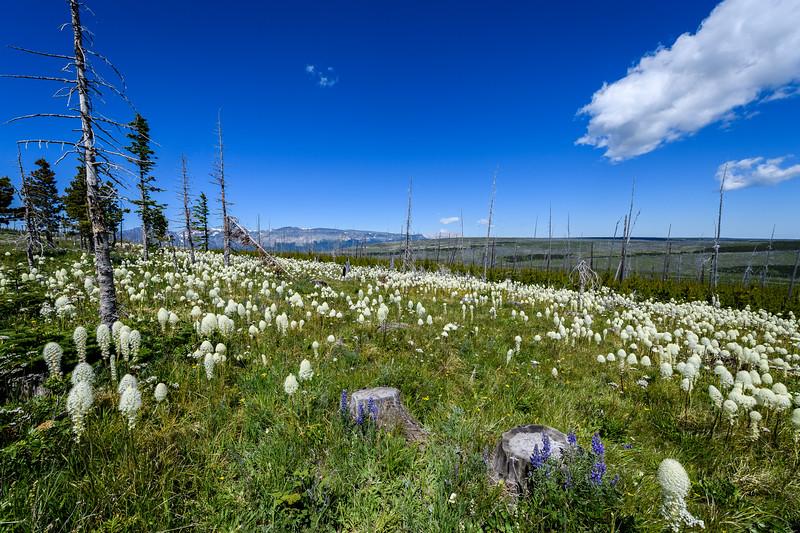 Field of Beargrass (Xerophyllum tenax) in Glacier National Park, Montana