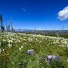 Field of Beargrass (Xerophyllum tenax) in Glacier National Park, Montana