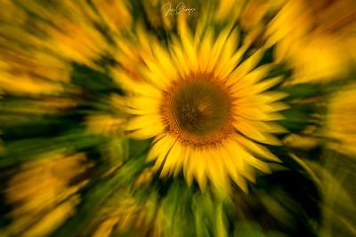Woozy Sunflower
