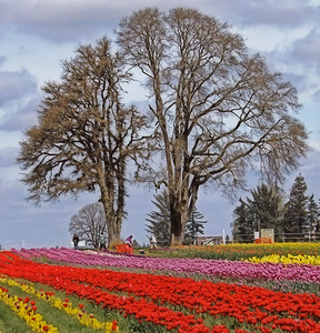 Tulips and 2 Trees