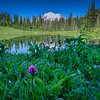 Morning dew on wildflowers at Tipsoo Lake, Mt. Rainier National Park, Washington State