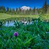 Morning dew on wildflowers at Tipsoo Lake, Mt. Rainier National Park, Washington State