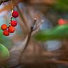 Day #332 - Wild Madrone Berries