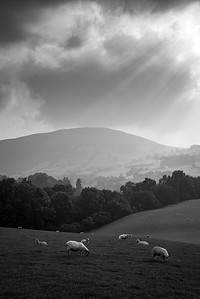 Sheep, South Wales