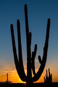 Giant Saguaro at sunset, Catalina State Park, AZ.