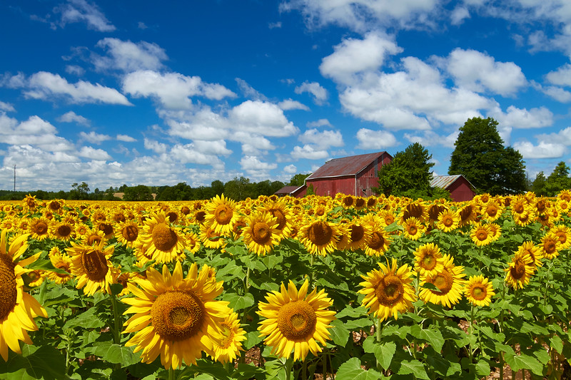 Field of Sunny Faces
