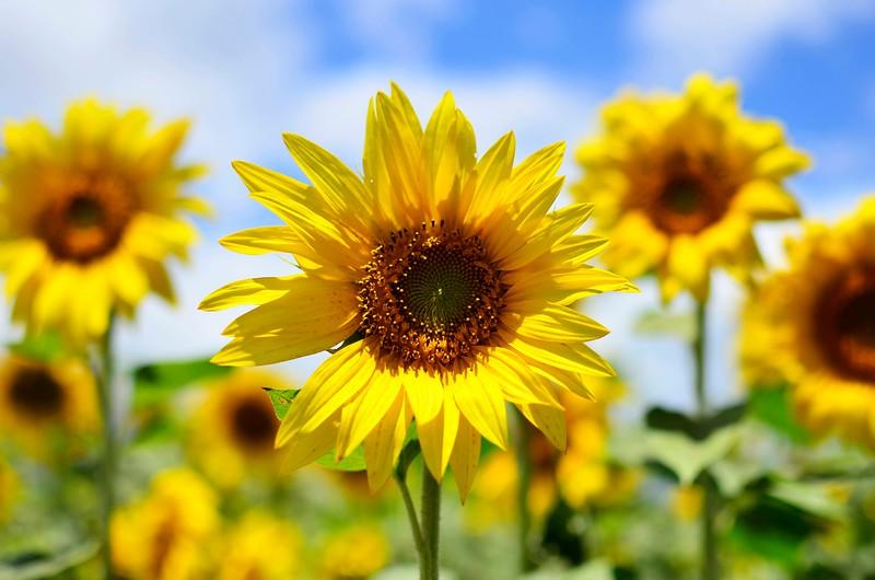 Sunflower Fields, Oahu