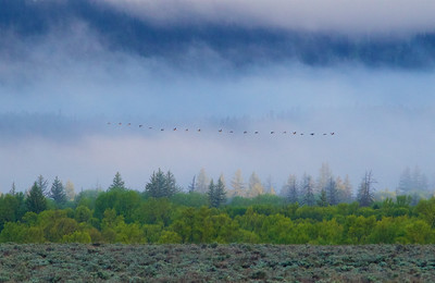 A flock of Canadian Geese begin their journey in Grand Teton National Park