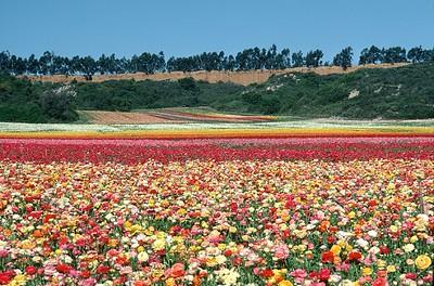 Carlsbad Flowers 1970's #1
