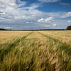 Winter barley