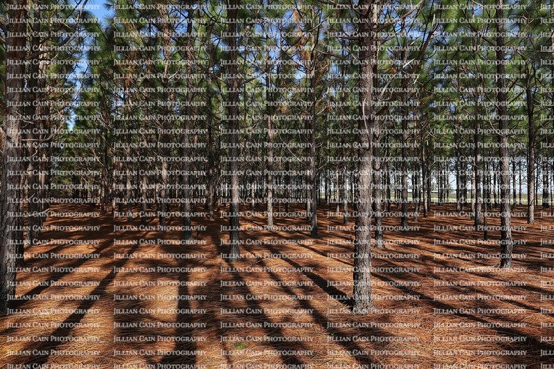 Sunlight filters through rows of pine trees growing in straight lines in rural Georgia, USA.
