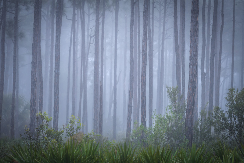 Fog before sunrise at Babcock Wildlife Management Area, Punta Gorda, Florida