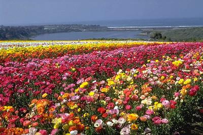 Carlsbad Flowers, 1970's #3