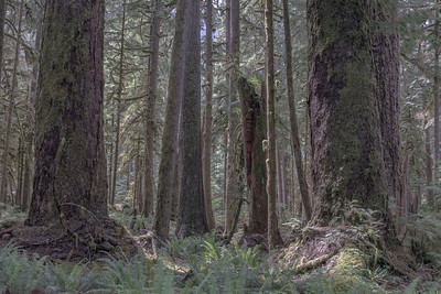 The lush lowland forests of Mount Rainier National Park support incredible old Douglas fir trees that tower over the forest and provide new life after they die.