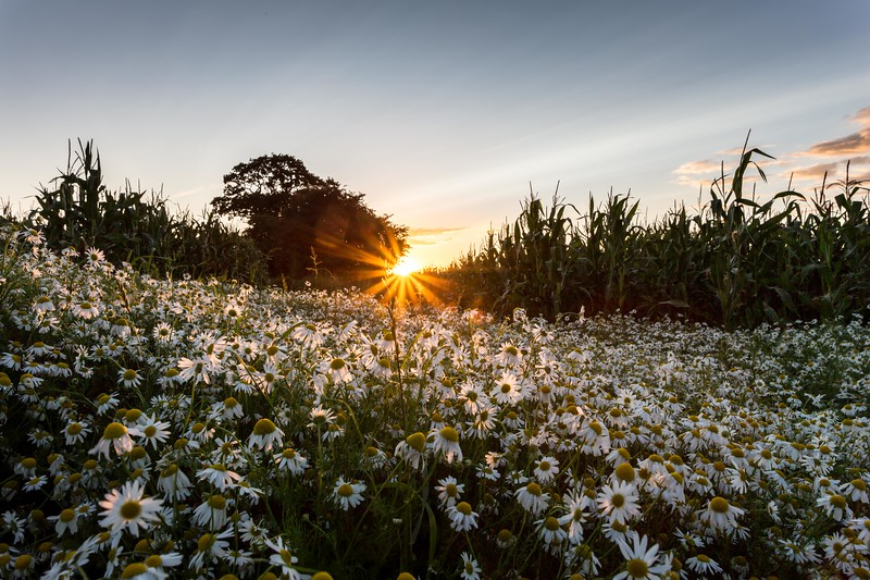 Evening Daisies