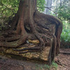 Roots of new Redwood on old Redwood