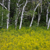 Field of Winter Cress (Barbarea vulgaris) with Aspen trees, Two Medicine Lake Glacier National Park, Montana