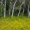 Field of Winter Cress (Barbarea vulgaris) with Aspen trees, Two Medicine Lake Glacier National Park, Montana