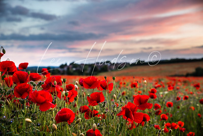 British poppy field