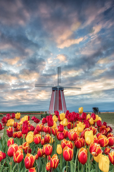 Windmill in the tulips